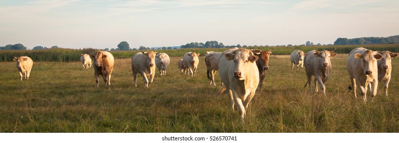 Blond d'Aquitaine cow watching