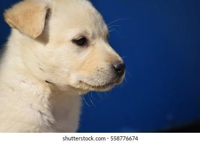 Blond Labrador puppy dog head
