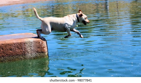 Blond labrador retriever jumping into water, wearing a collar.