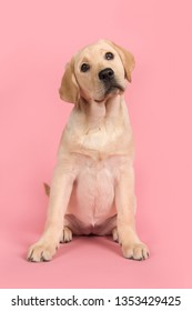 Blond labrador retriever looking at the camera sitting on a pink background