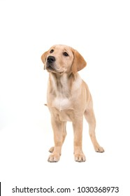 Blond labrador retriever standing and looking up isolated on a white background