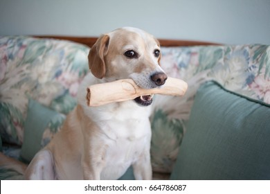 Blonde Beagle mix dog holds rawhide bone inside on the couch