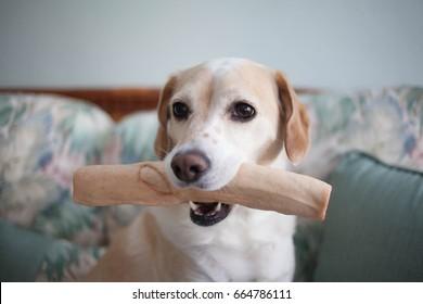 Blonde Beagle mix dog holds rawhide bone inside