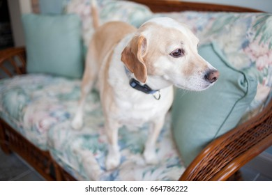 Blonde Beagle mix dog stands on the couch