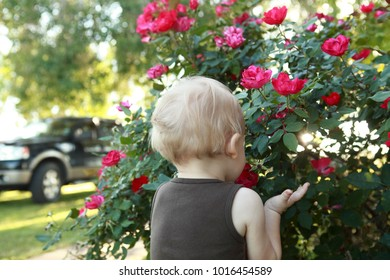 Blonde child stopping to smell the pink roses in the yard during spring or summer time, face and hands in green rosebush. Stopping to appreciate the beauty in nature and the good things in life.