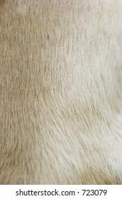 blonde cocker spaniel fur