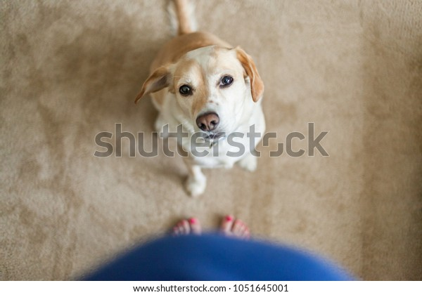 Blonde dog looks at mom's pregnany belly
