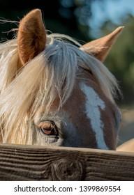 Blonde horse peeking over wooden fence rail