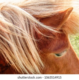 The blonde mane, ear and eye with, long eyelashes, of a golden brown shetland pony