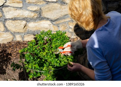 blonde woman cuts a gooseberry bush in a garden bed with a pair of garden shears due to pest infestation with gooseberry leaf wasps
