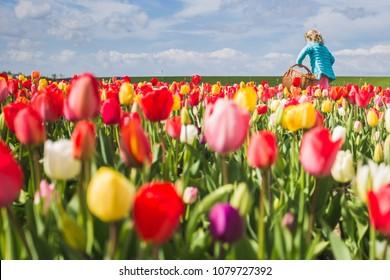 Blonde young girl picking up tulips in a field. Yersekendam, Zeeland province, Netherlands.