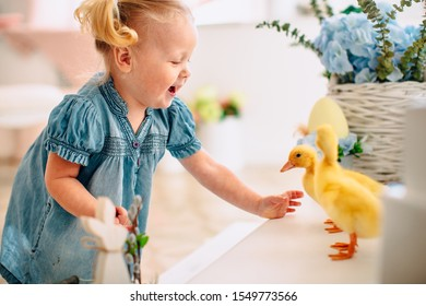 Blondel little girl in blue dress and two ponytales playing with yellow fluffy ducklings and laughing. Easter, spring