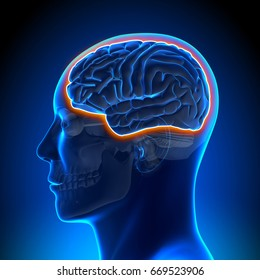 Blood Brain Barrier Male Head Anatomy Medical Scan - 3d illustration