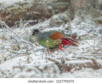 blood pheasant (Ithaginis cruentus) in the Huanglong National Park near Jiuzhaijou after snowfall - SiChuan, China