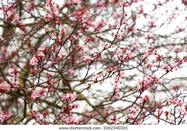 Blood plum blossom twigs(purple leaf, Prunus cerasifera) . First spring fragile pale pink flowers.