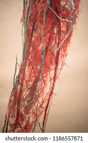 Blood Vessels of human arm