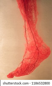 Blood Vessels of human foot