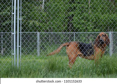 Bloodhound behind chain link fence