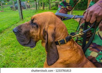 Bloodhound dog breed on a leash head close up