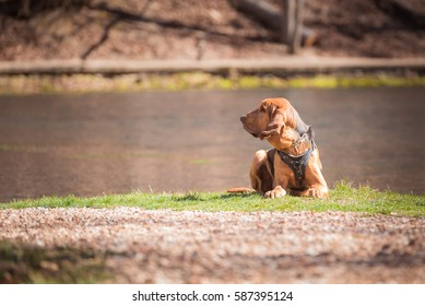 Bloodhound dog laying down with lake behind him