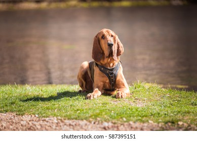 Bloodhound dog laying down wearing a tracking harness