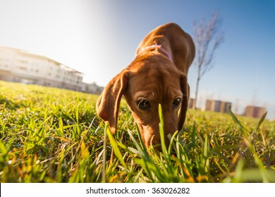 Bloodhound dog puppy close up portrait. Cute puppy dog looking on camera while sniffing the ground. Sun flare effect.