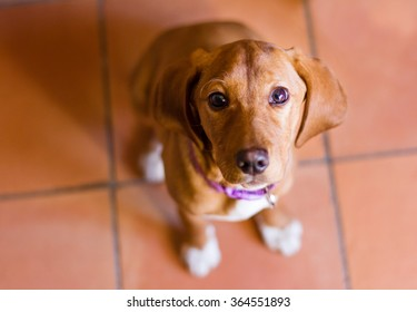 Bloodhound dog puppy portrait. Selective focus on the eyes.