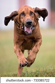 Bloodhound dog running
