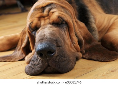 Bloodhound dog sleeping on the floor indoors, close-up