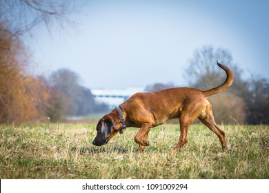 bloodhound getting a scent on a trail
