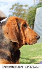 Bloodhound looking very serious. Photo taken in nature. Bloodhound feauters.