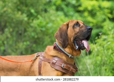 Bloodhound preparing to track wearing a leather harness.