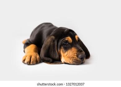 Bloodhound Puppy Dog on Isolated Background