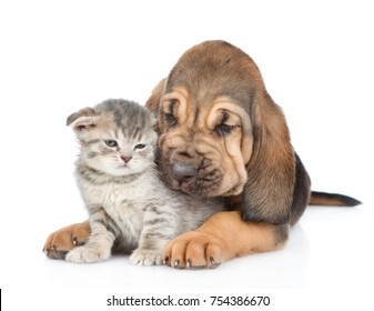 Bloodhound puppy hugs the kitten. isolated on white background