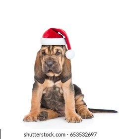 Bloodhound puppy in red christmas hat sitting in front view. isolated on white background
