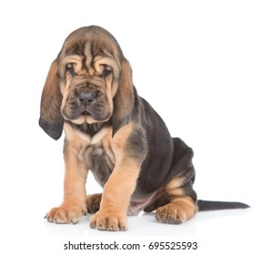 Bloodhound puppy sitting in front view. isolated on white background