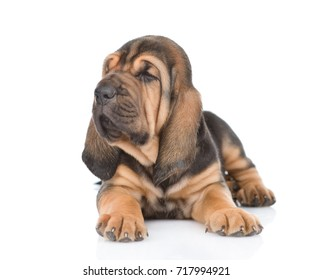 Bloodhound puppy sitting in front view and looking away. isolated on white background