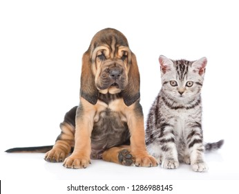 Bloodhound puppy with tabby kitten looking at camera together. isolated on white background