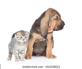 Bloodhound puppy with tabby kitten together. isolated on white background