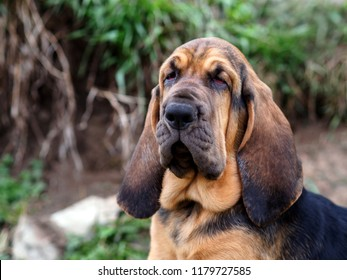 Bloodhound puppy in the woods