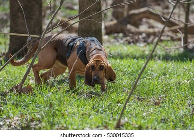 Bloodhound wearing harness tracking