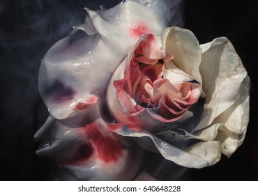 Bloodied wet flower of a withering white rose closeup