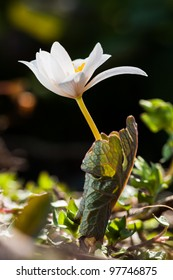 Bloodroot Opening in Spring