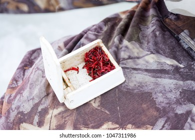 Bloodworms, motyl or mosquito larvae as bait for fish during winter ice fishing, are in plastic container on knee at fisherman close-up. Scenic photo bait for winter fishing using mormyshkas or jig