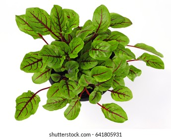 Bloody Dock or Ornamental Sorrel (rumex sanguineus) isolated over white background