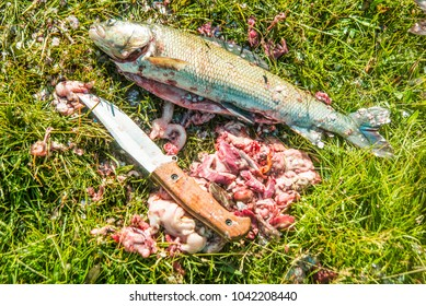 bloody knife lie on green grass with whole big fish.