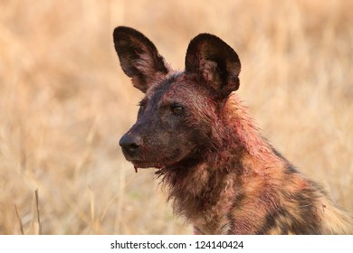 Bloody wild dog after eating.