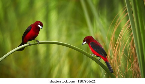 Bloody-red colored songbird, Silver-beaked Tanager, Ramphocelus carbo, two south american tanagers, pair perched on curved stalk of reed. Montezuma area, Tatama national park, Colombia.