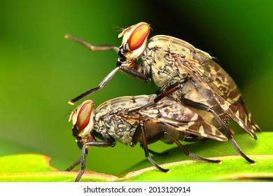Blook Sucker Flies in Mating. This flies are common in Papua New Guinea.