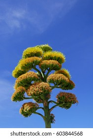 Bloom of an agave Americana, so called century plant, American aloe, or maguey, in Arizona, against a blue sky